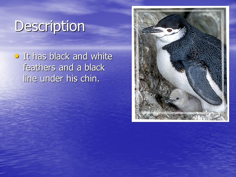 Description It has black and white feathers and a black line under his chin.