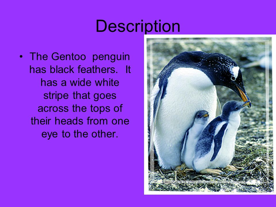 Description The Gentoo penguin has black feathers.