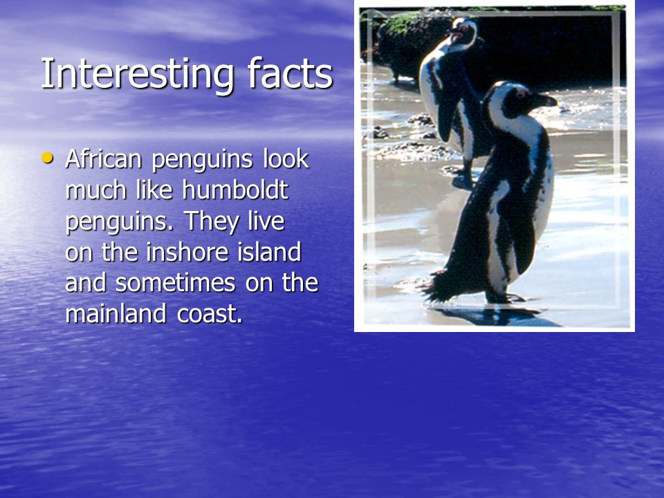 Interesting facts African penguins look much like humboldt penguins.
