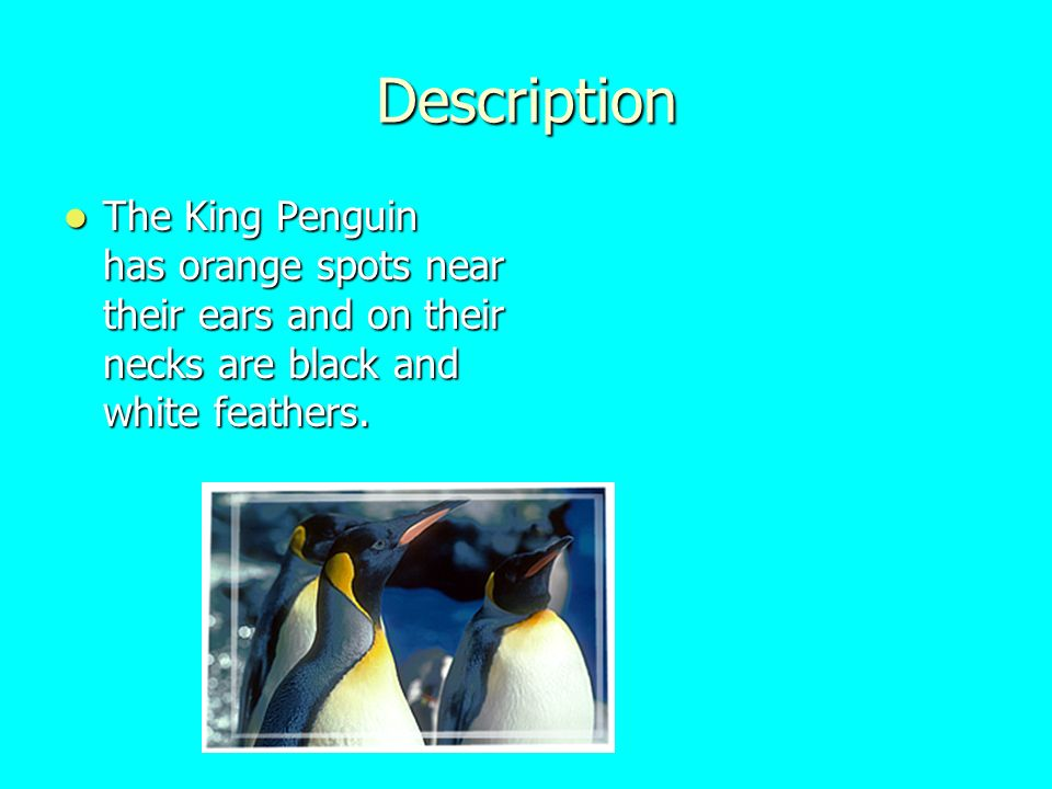 Description The King Penguin has orange spots near their ears and on their necks are black and white feathers.