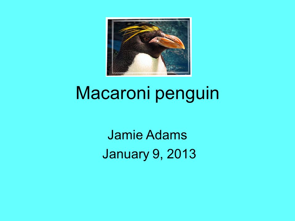 Macaroni penguin Jamie Adams January 9, 2013