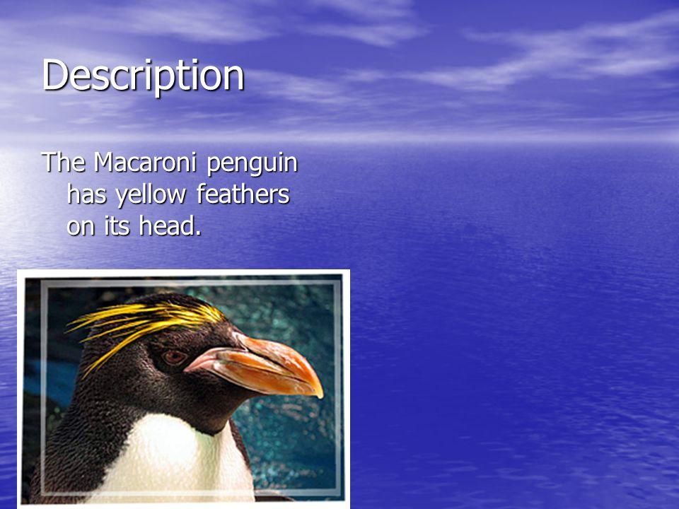 Description The Macaroni penguin has yellow feathers on its head.