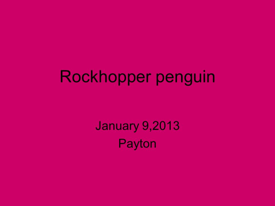 Rockhopper penguin January 9,2013 Payton