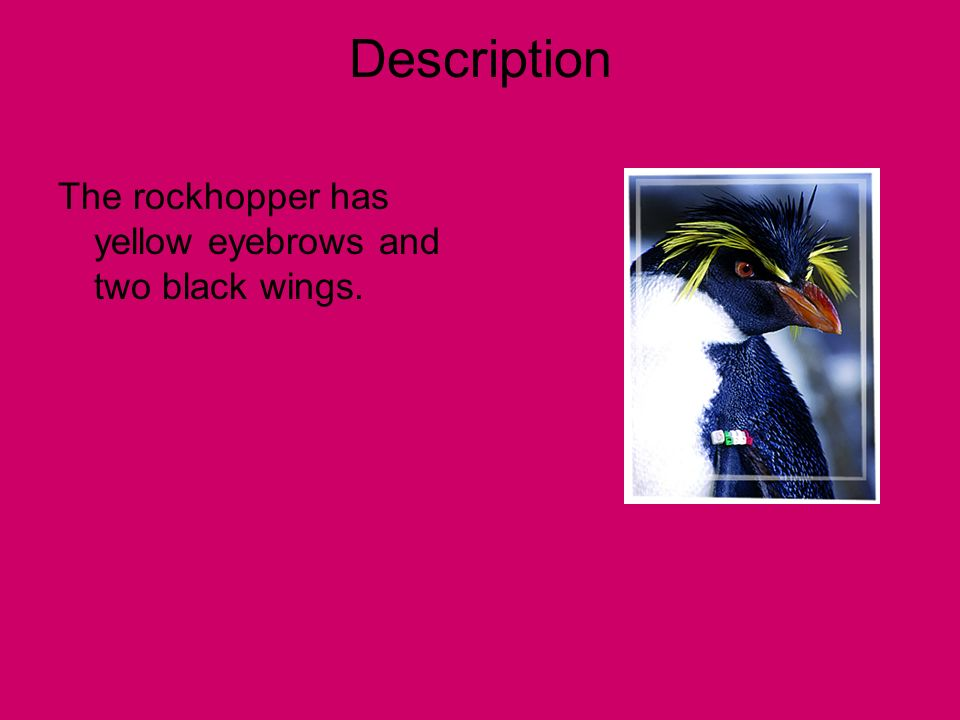 Description The rockhopper has yellow eyebrows and two black wings.