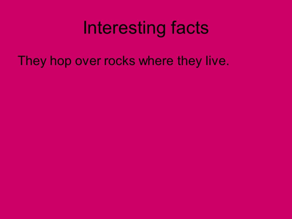 Interesting facts They hop over rocks where they live.