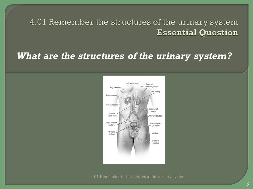 4.01 Remember the structures of the urinary system Essential Question