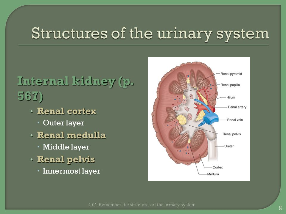 Structures of the urinary system