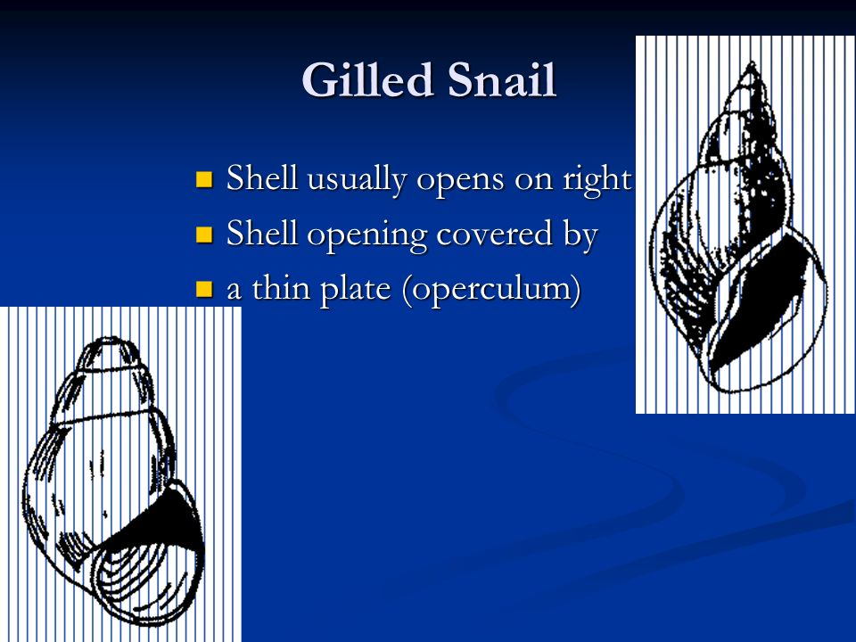 Gilled Snail Shell usually opens on right Shell opening covered by