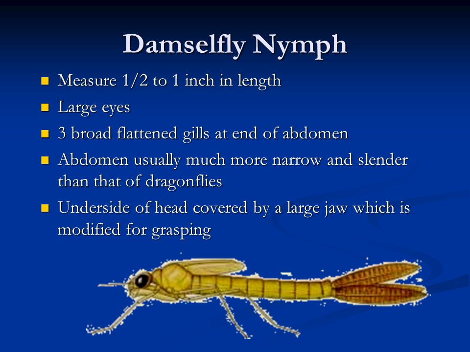 Damselfly Nymph Measure 1/2 to 1 inch in length Large eyes