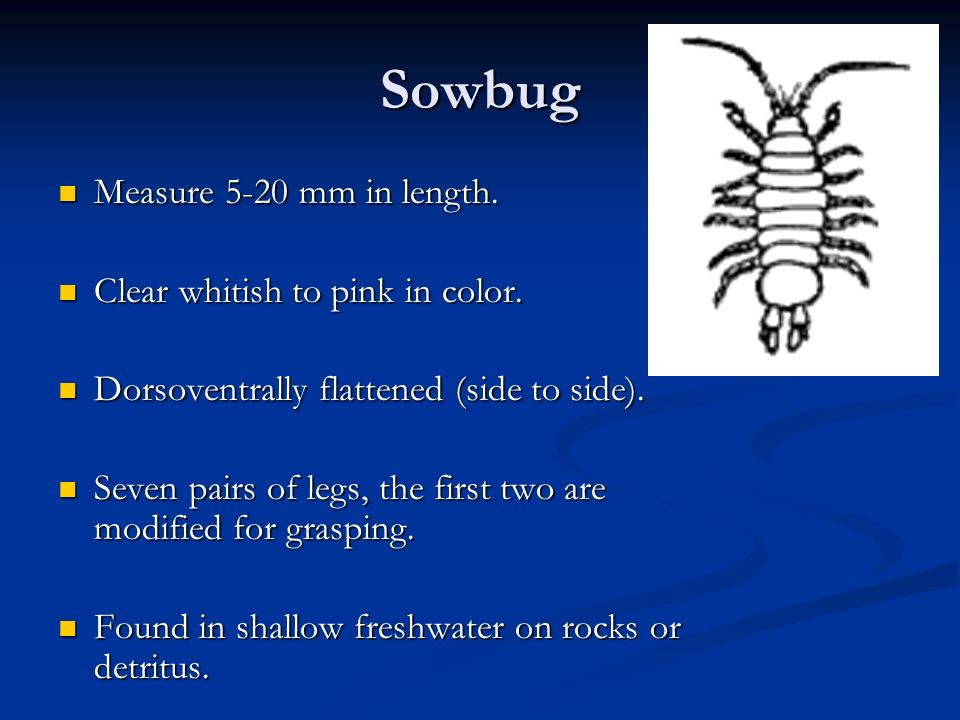 Sowbug Measure 5-20 mm in length. Clear whitish to pink in color.