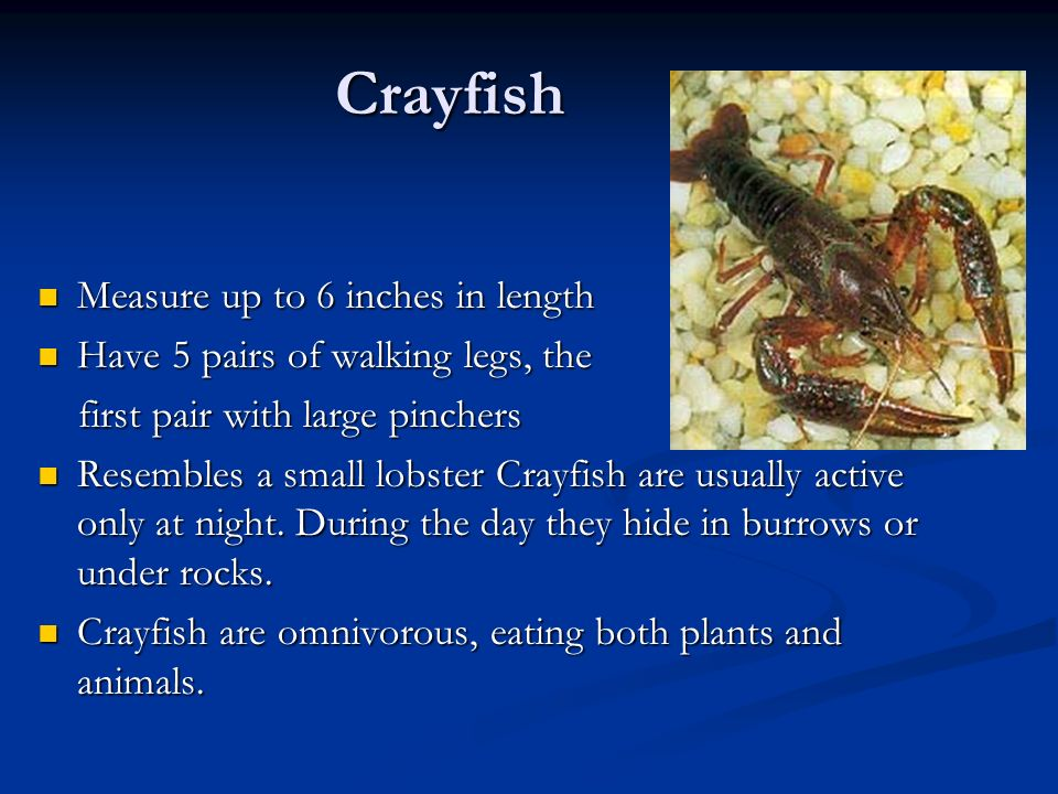 Crayfish Measure up to 6 inches in length