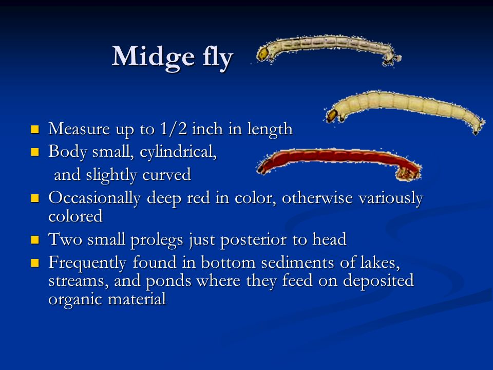 Midge fly Measure up to 1/2 inch in length Body small, cylindrical,