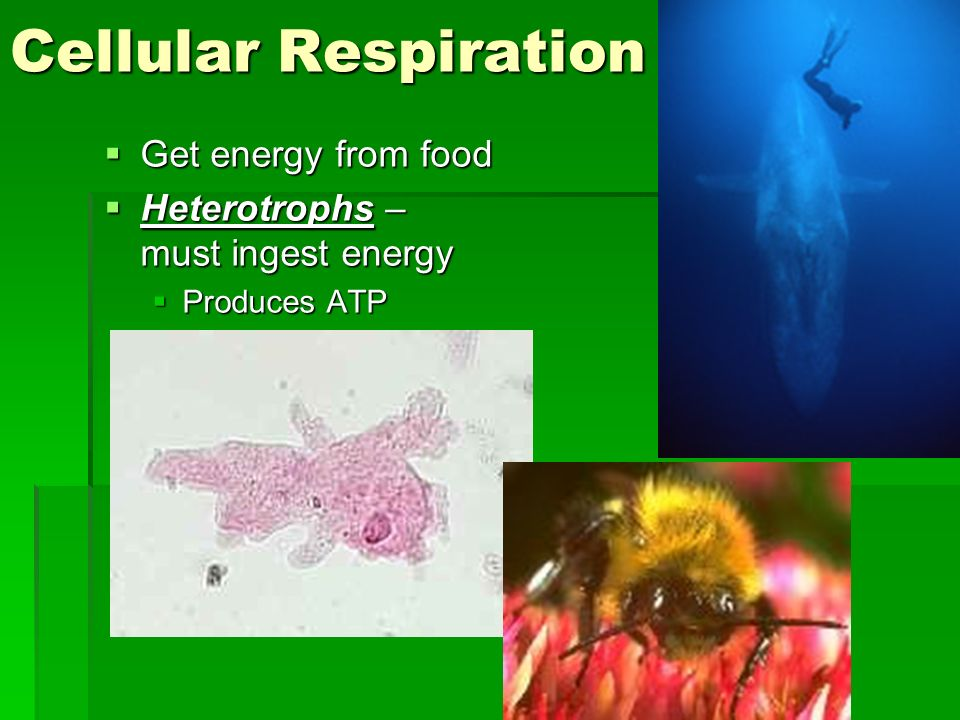 Cellular Respiration Get energy from food