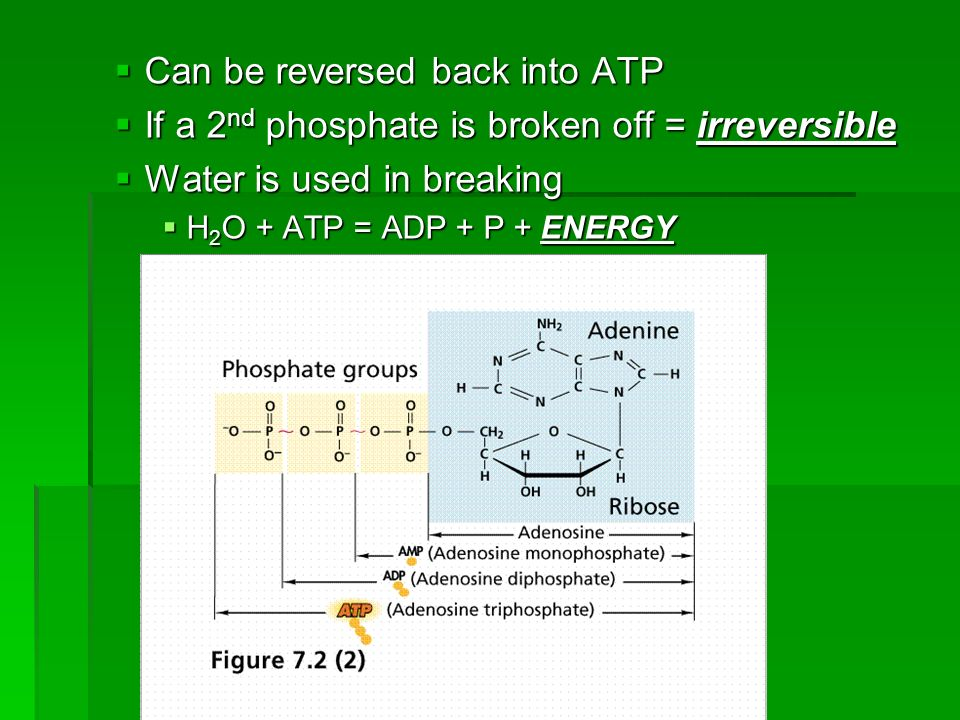 Can be reversed back into ATP