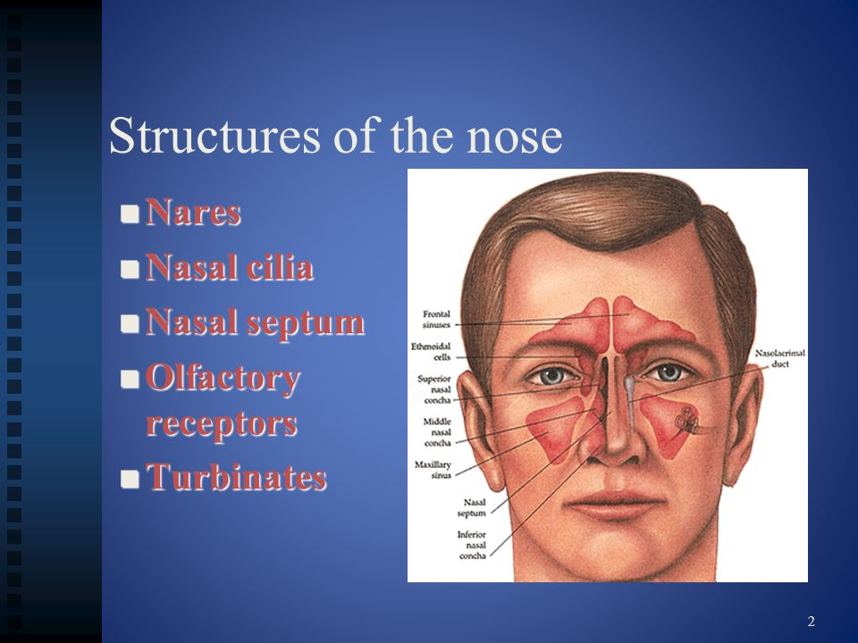 Structures of the nose Nares Nasal cilia Nasal septum