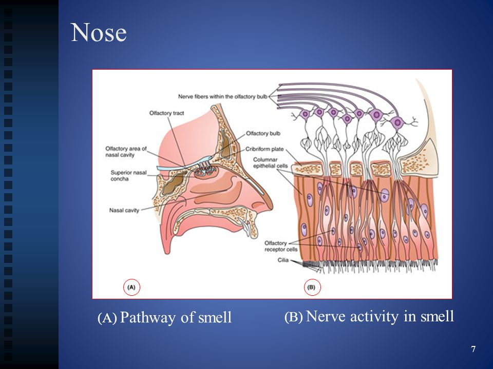 Nose (A) Pathway of smell (B) Nerve activity in smell