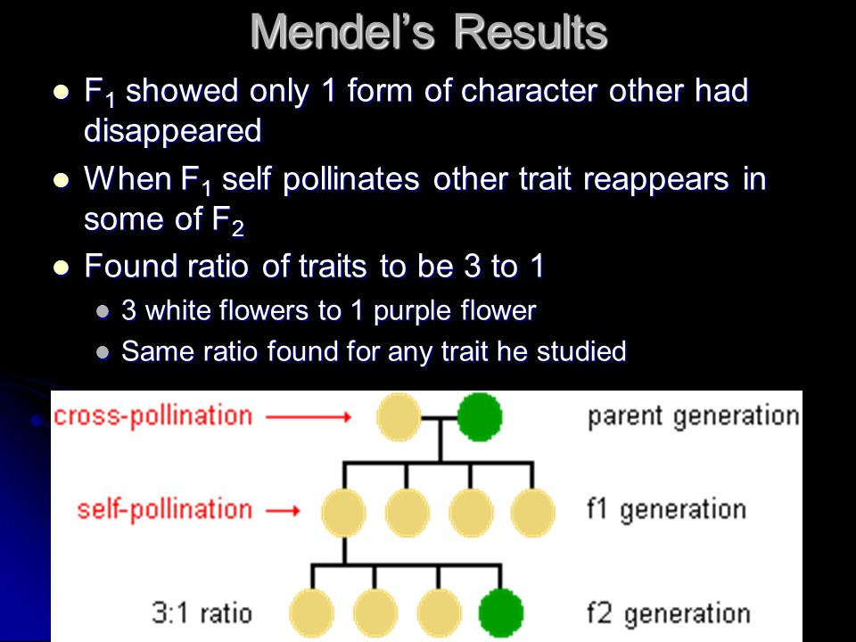 Mendel's Results F1 showed only 1 form of character other had disappeared. When F1 self pollinates other trait reappears in some of F2.