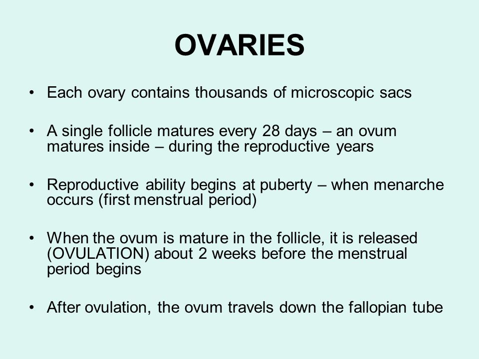 OVARIES Each ovary contains thousands of microscopic sacs