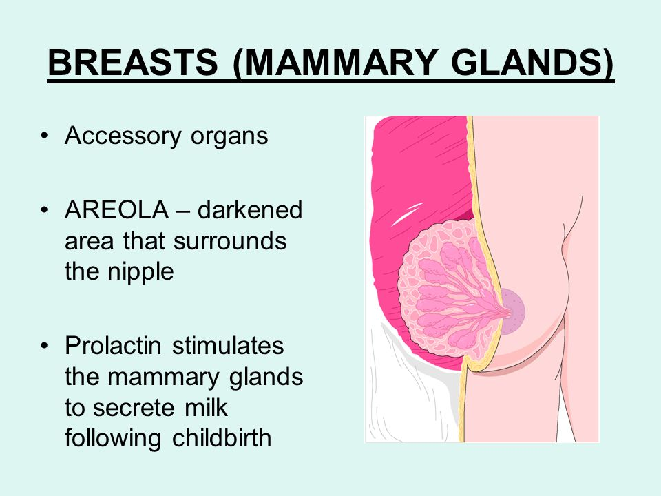 BREASTS (MAMMARY GLANDS)