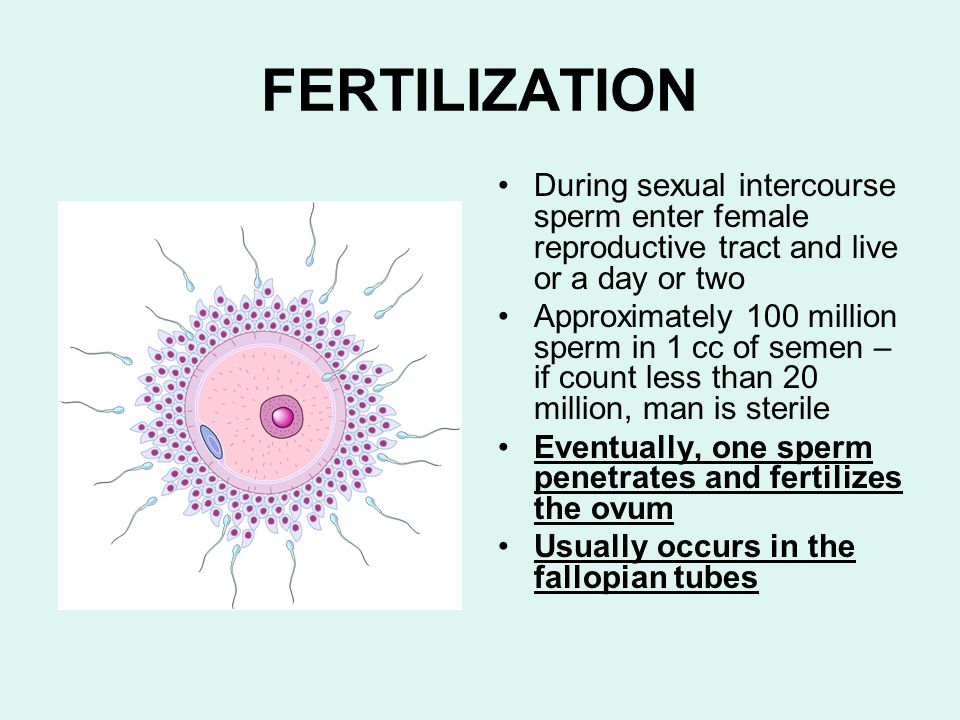 FERTILIZATIONDuring sexual intercourse sperm enter female reproductive tract and live or a day or two.
