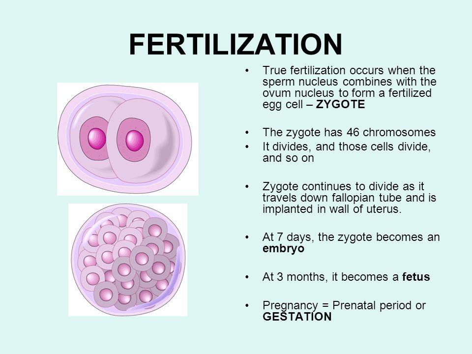 FERTILIZATION True fertilization occurs when the sperm nucleus combines with the ovum nucleus to form a fertilized egg cell – ZYGOTE.