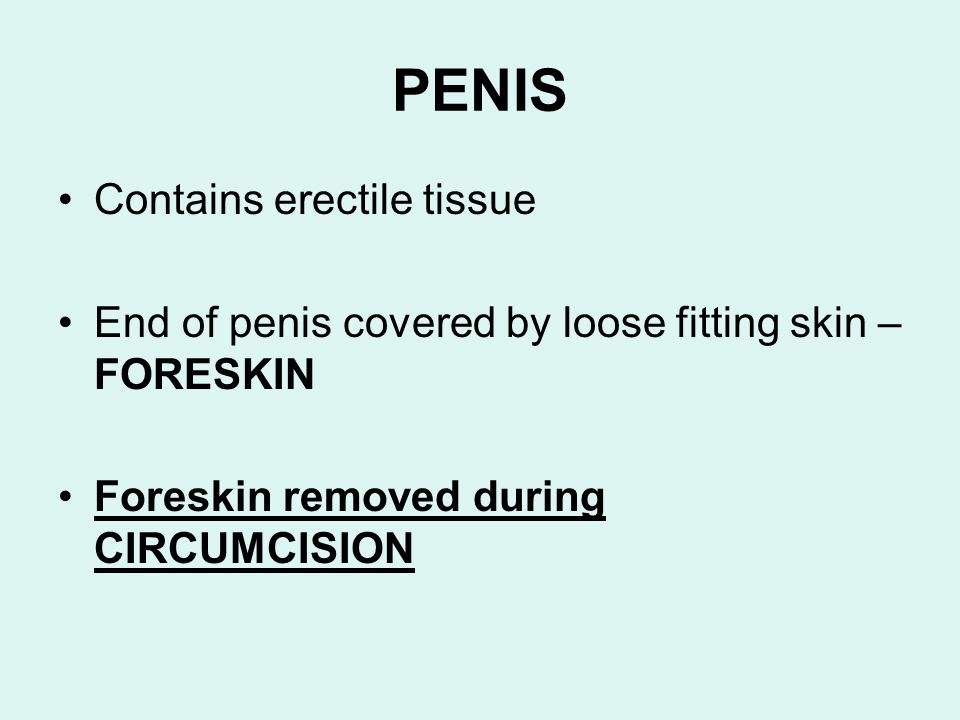 PENIS Contains erectile tissue