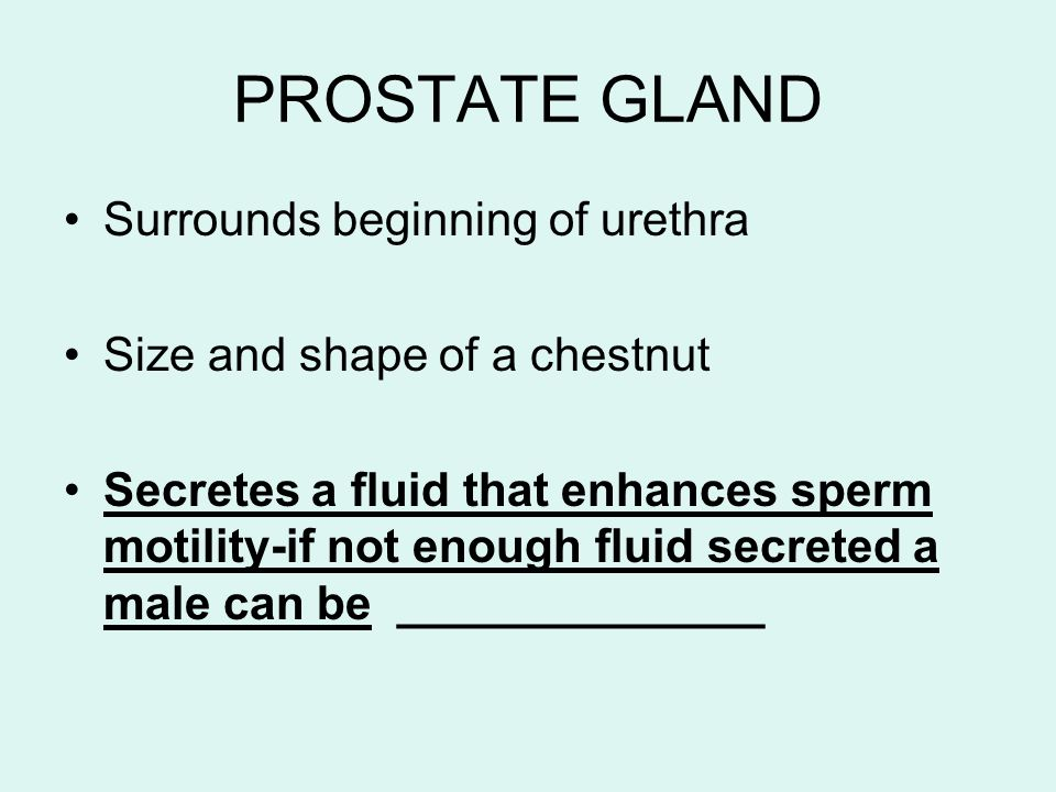 PROSTATE GLAND Surrounds beginning of urethra