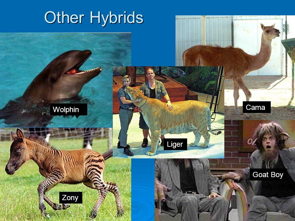 Other Hybrids Cama Wolphin Liger Goat Boy Zony