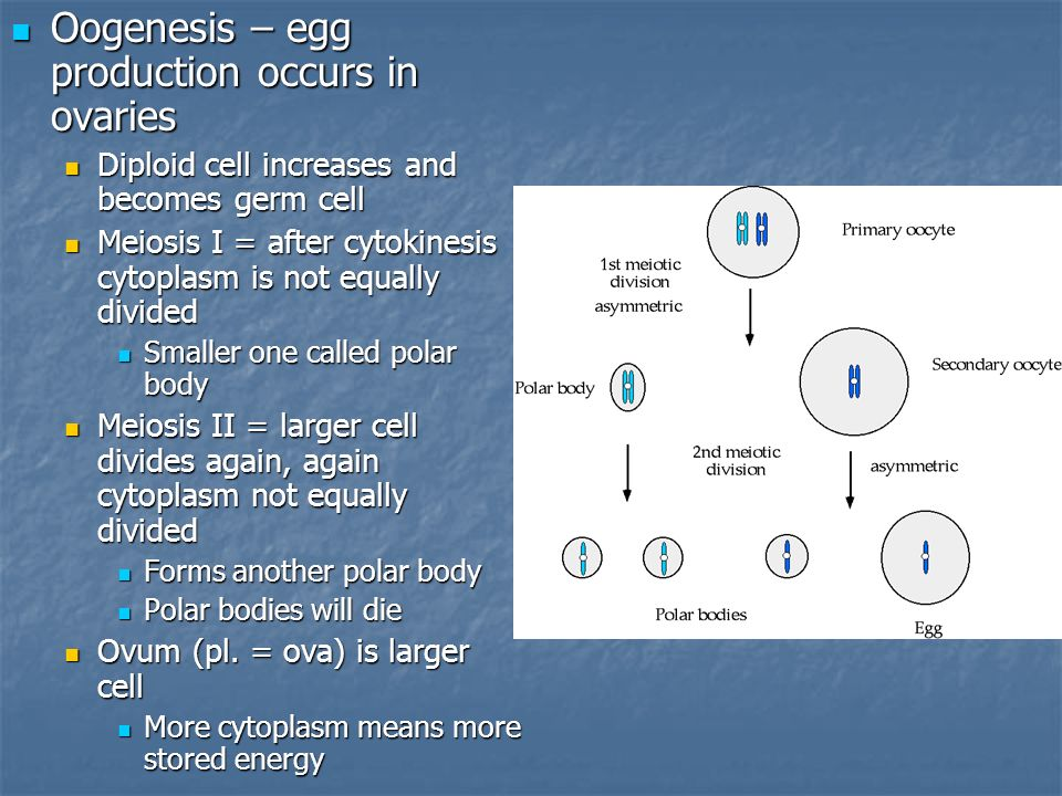 Oogenesis – egg production occurs in ovaries