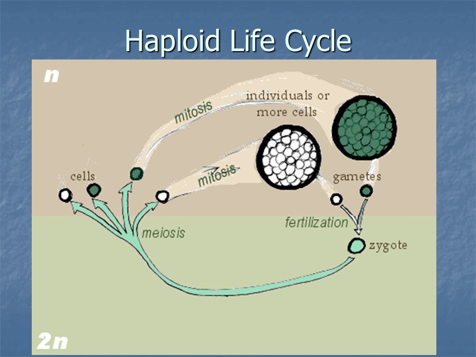 Haploid Life Cycle