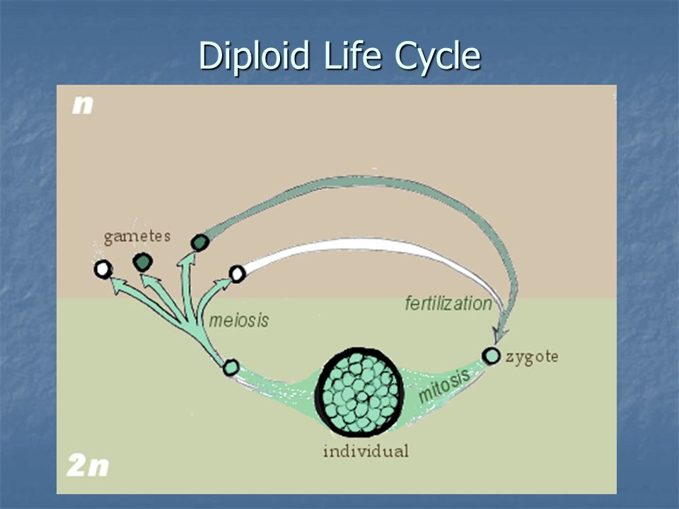 Diploid Life Cycle