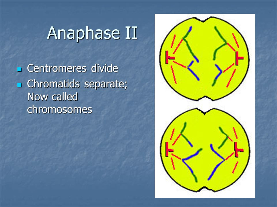 Anaphase II Centromeres divide