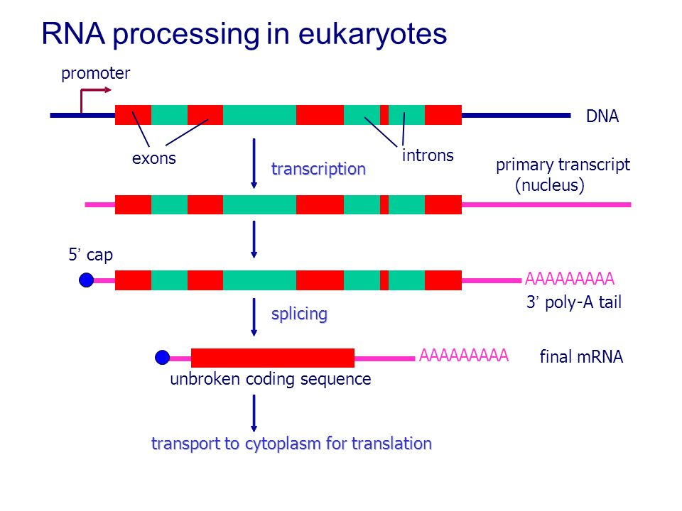 RNA processing in eukaryotes - ppt video online download