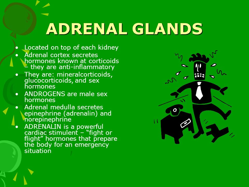 ADRENAL GLANDS Located on top of each kidney