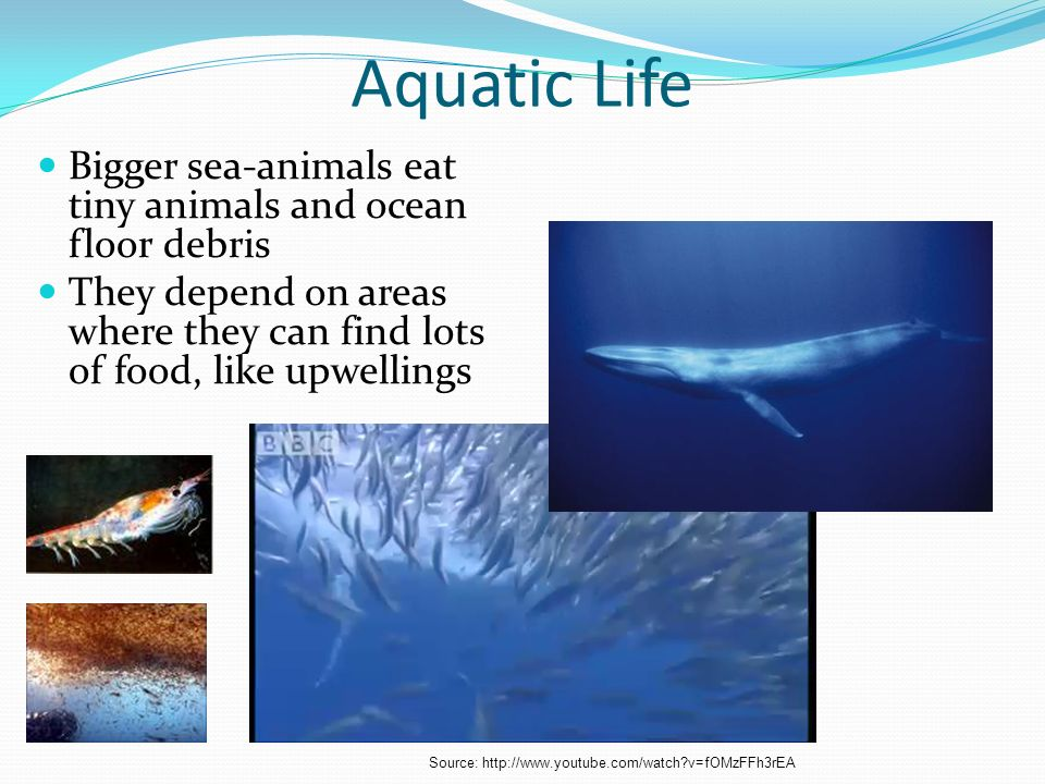 Aquatic Life Bigger sea-animals eat tiny animals and ocean floor debris. They depend on areas where they can find lots of food, like upwellings.