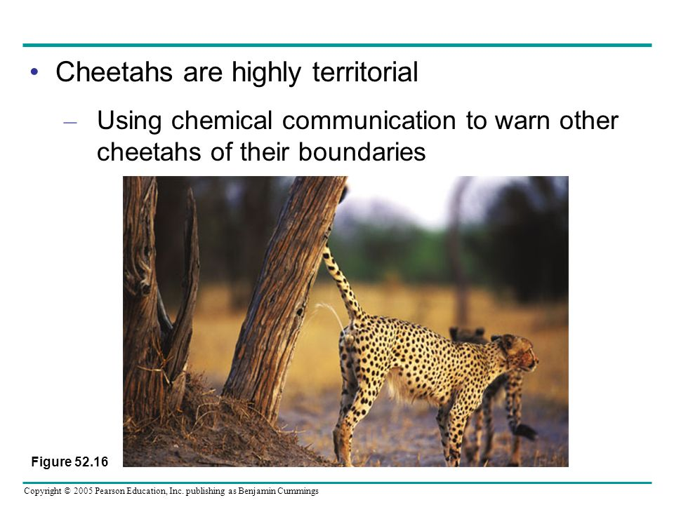 Cheetahs are highly territorial