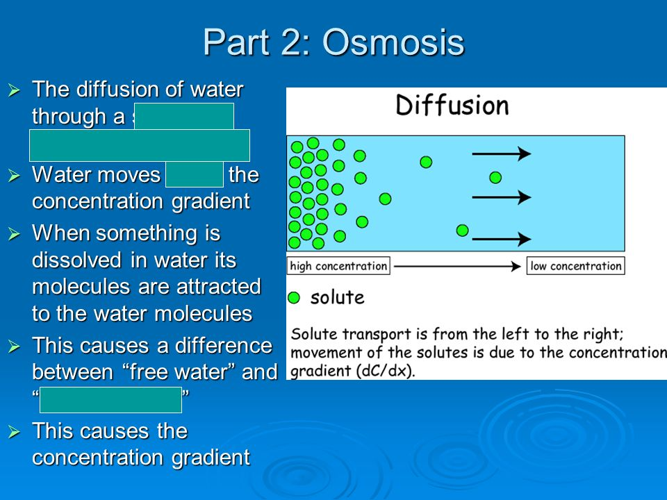 Part 2: Osmosis The diffusion of water through a selectively permeable membrane. Water moves down the concentration gradient.