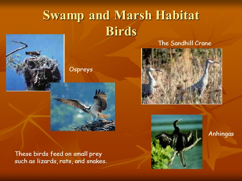 Swamp and Marsh Habitat Birds