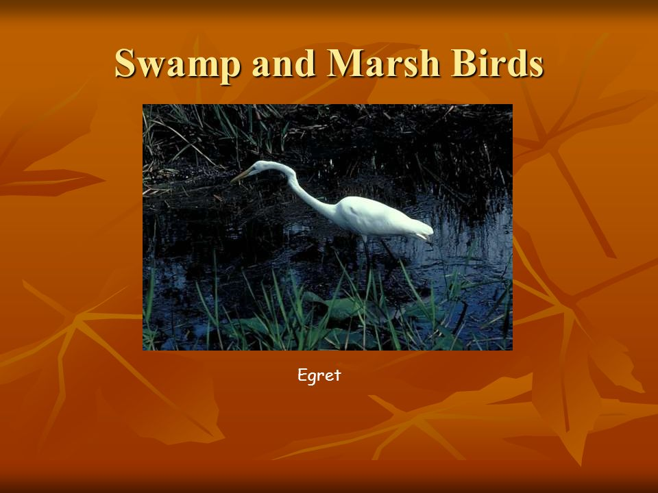 Swamp and Marsh Birds Egret