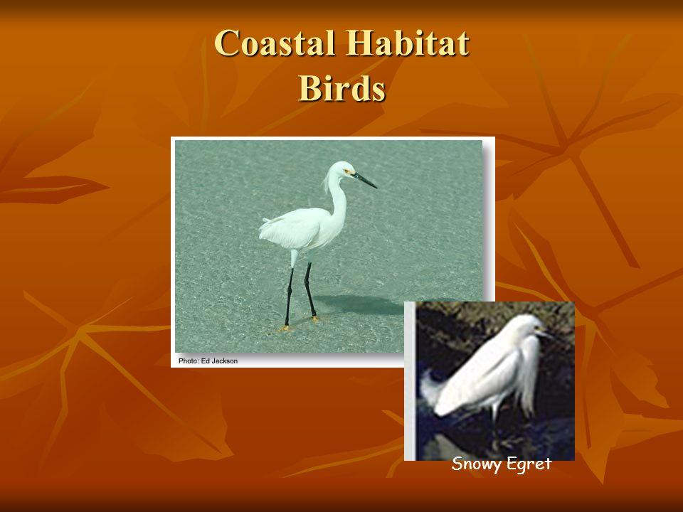 Coastal Habitat Birds Snowy Egret