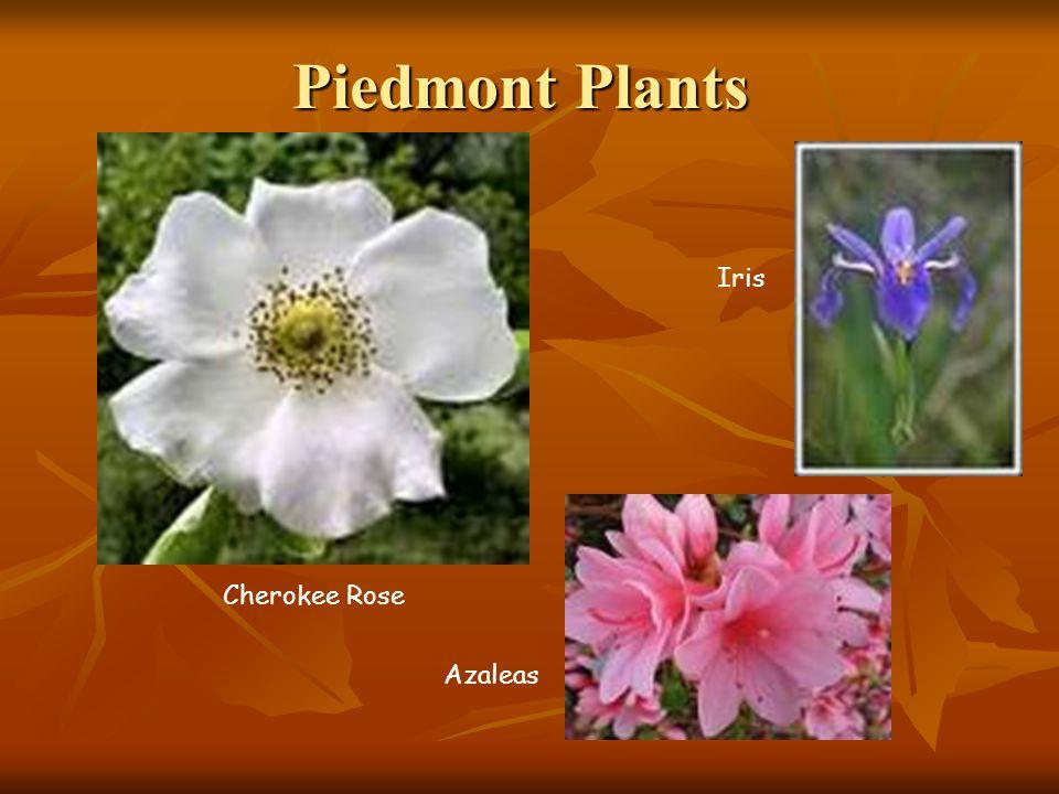 Piedmont Plants Iris Cherokee Rose Azaleas