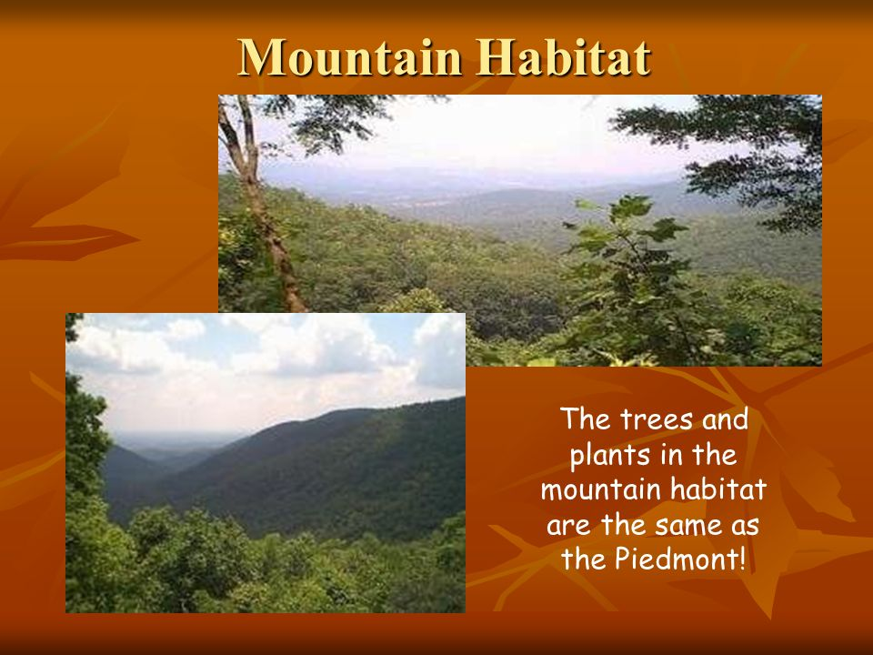 Mountain Habitat The trees and plants in the mountain habitat are the same as the Piedmont!