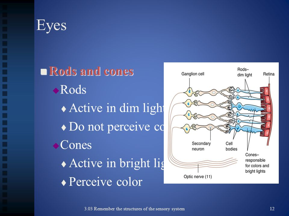 Eyes Rods and cones Rods Active in dim light Do not perceive color