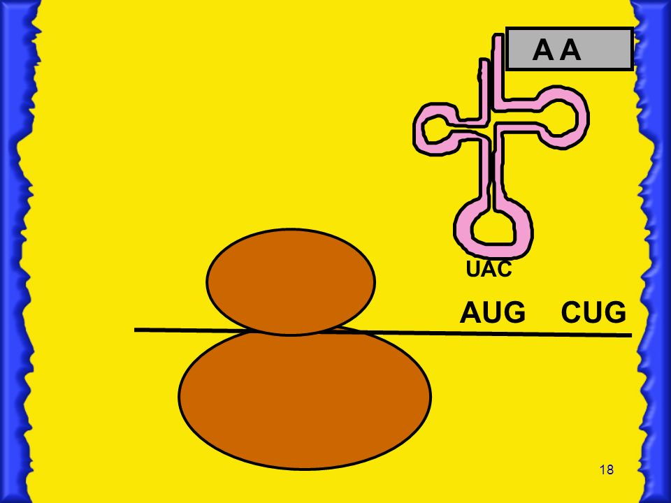 A A UAC AUG CUG