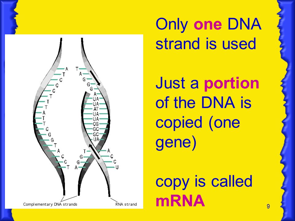Only one DNA strand is used Just a portion of the DNA is copied (one gene) copy is called mRNA