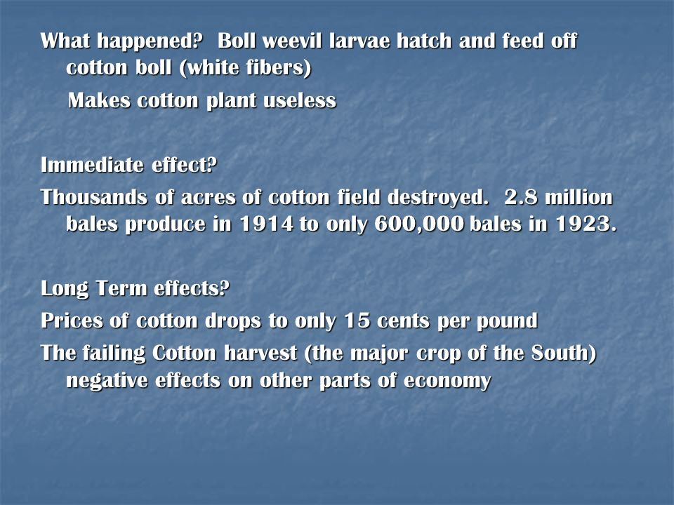 What happened Boll weevil larvae hatch and feed off cotton boll (white fibers)