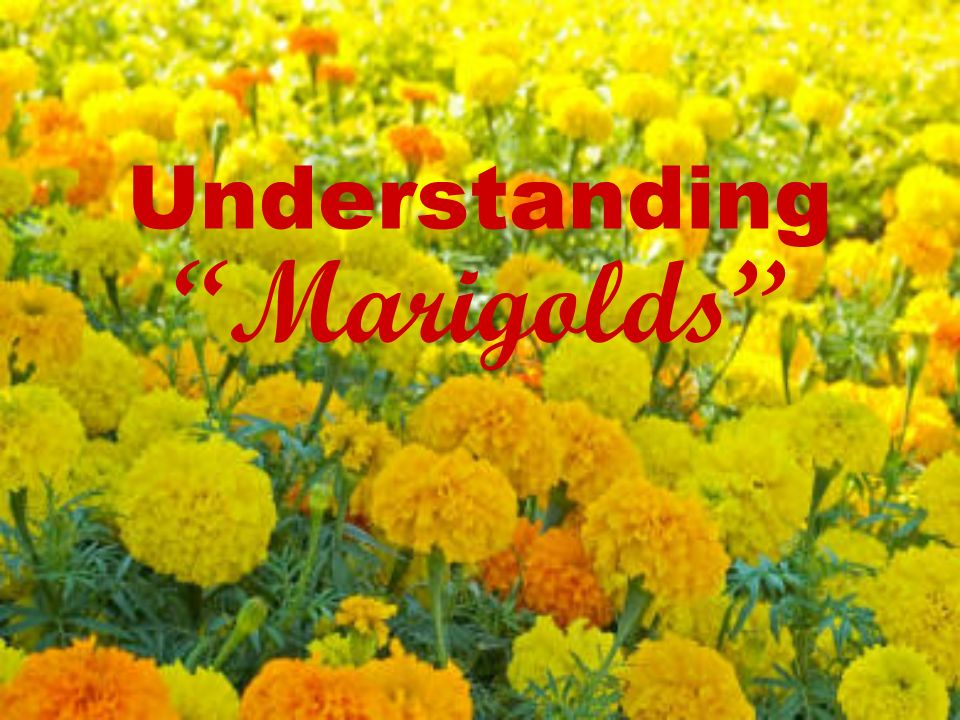 the theme of poverty in marigolds a short story by eugenia collier Start studying short story elements: marigolds learn vocabulary, terms, and more with flashcards, games, and other study tools.