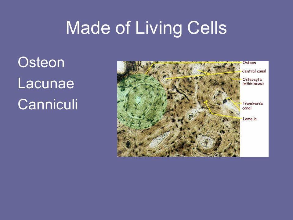 Made of Living Cells Osteon Lacunae Canniculi