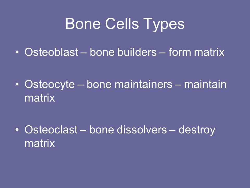 Bone Cells Types Osteoblast – bone builders – form matrix