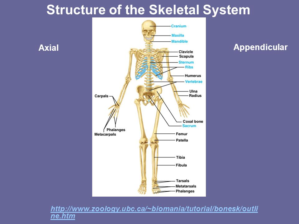 Structure of the Skeletal System